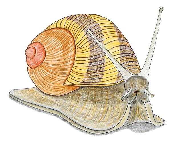 Escargot, illustration de Michael Nativel