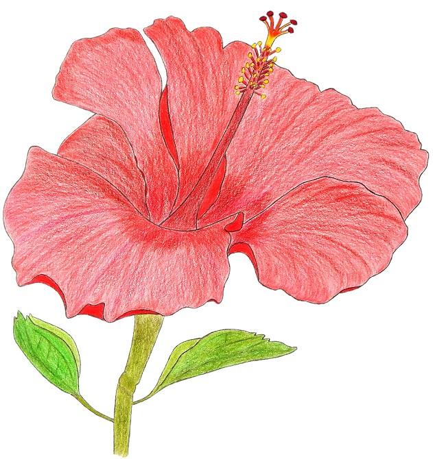 Hibiscus, illustration de Michael Nativel